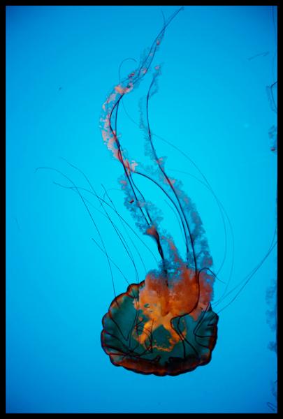Jellyfish California Academy of Sciences
