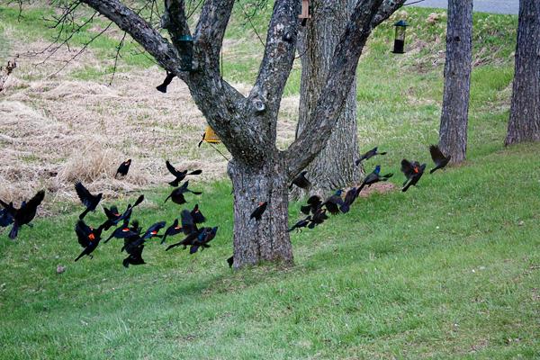 Red Wing Black Birds Flying Michigan