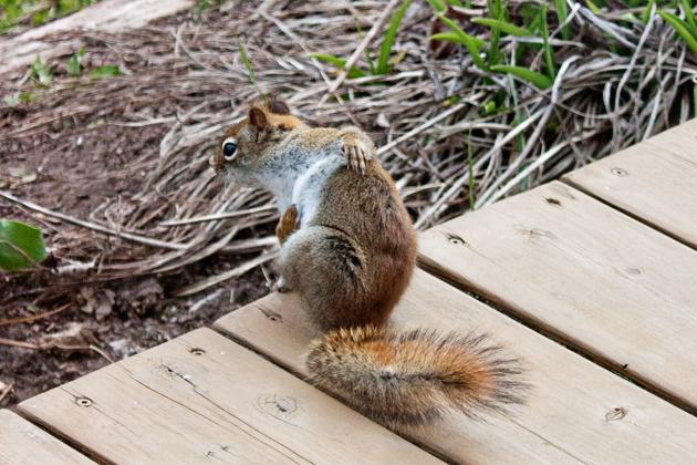 Squirrel Jig