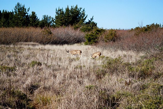 Deer at Ano Nuevo