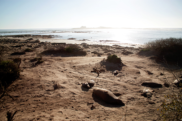 Elephant Seals at Ano Nuevo