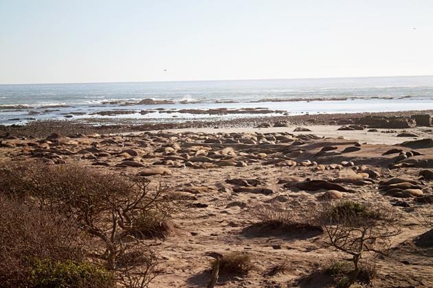Elephant Seals at Ano Nuevo