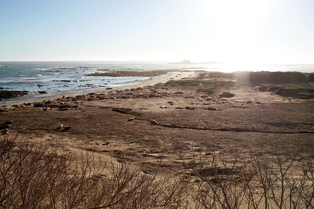 Thousands of elephant seals at Ano Nuevo
